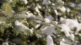 Stäng sig upp skott av dettäckte gran-trädet, som täckas med snö stock video