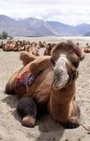Stäng sig upp skott av en Bactrian kamel på den Nubra dalen Royaltyfri Foto