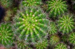 Stäng sig upp skott av en grupp av den lilla kaktuns Royaltyfri Foto