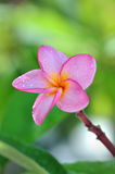 Stäng sig upp skott av en rosa frangipaniflowe Royaltyfria Bilder