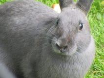 Stäng sig upp skott av grå kaninkanin från att dalta zoo i Vancouver Arkivbild