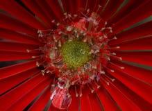 Stäng sig upp skott på den röda blomman med detaljer Royaltyfri Bild
