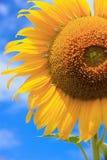 Stäng sig upp solrosen med bakgrund för blå himmel, naturlig bakgrund royaltyfria foton