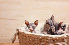 Stäng sig upp Sphynx kattungar inom en träkorg arkivfoto