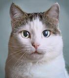 Stäng sig upp ståenden av den siberian katten med blåa ögon royaltyfria foton