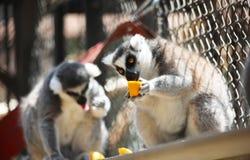 Stäng sig upp ståenden av den svartvita rufsade makin som äter ny frukt, nattliga primat för strepsirrhine Arkivfoto