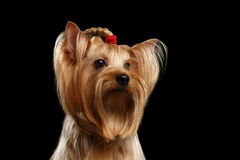 Stäng sig upp ståenden av den Yorkshire Terrier hunden med pilbågen som isoleras Royaltyfri Bild