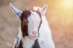 Stäng sig upp ståenden av det goatling djuret för den gulliga Kamerun med solljus som ser kameran fotografering för bildbyråer