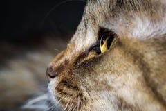 Stäng sig upp ståenden av en tre färgade Housecat i studio Arkivfoton