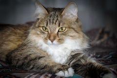 Stäng sig upp ståenden av en tre färgade Housecat i studio Royaltyfri Foto