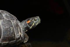 stäng sig upp ståenden av engå i ax glidaresköldpadda mot svart bakgrund arkivbilder