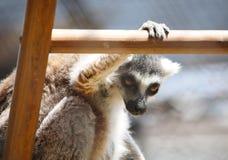 Stäng sig upp ståenden av svartvitt rufsat makisammanträde på en stege som håller ögonen på, nattliga primat för strepsirrhine Fotografering för Bildbyråer