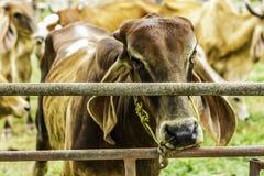 Stäng sig upp ståenden av vit- och bruntkon och det djura röda kalvbarnet i grön bakgrund kor som står på jordningen med lantgård Arkivfoton