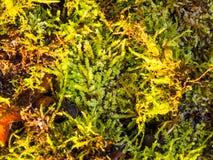 Stäng sig upp textur av den gröna mossalaven på jordbakgrund Royaltyfria Bilder