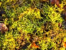 Stäng sig upp textur av den gröna mossalaven på jordbakgrund Arkivbild