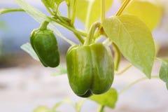 Stäng sig upp tillväxt för grön spansk peppar eller för söt peppar i åkerbruk lantgård för fältväxt Royaltyfria Bilder