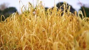 Stäng sig upp vetefält på solnedgången i sommar lager videofilmer