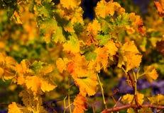 stäng sig upp vingård Royaltyfria Foton
