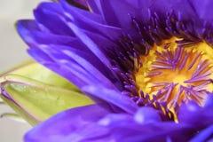 Stäng sig upp violet och gulna pollen inom den violetta lotusblommablomman Arkivbild