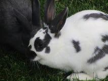 Stäng sig upp vit och gråna kaninkaniner på att dalta zoo Royaltyfri Bild