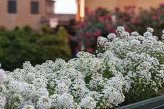 Stäng sig upp vita blommor med rosor på bakgrund Royaltyfria Foton