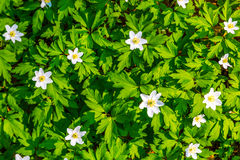 Stäng sig upp vita blommor och sikt för textur för grönt gräs bästa arkivbild