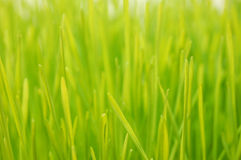 stäng sig upp wheatgrass Arkivfoton