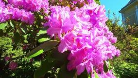 Stäng upp av rosa blommor av rhododendronblomningar i trädgården i sommar film 4K arkivfilmer