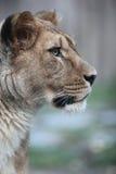 stäng upp den majestätiska ståenden för lionessen Arkivfoton