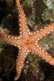 stäng upp den pebbled havsstjärnan Arkivfoto