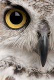 stäng upp den stora horned owlen Fotografering för Bildbyråer