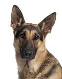 stäng upp den tyska herden för hunden Arkivbild
