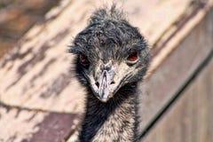 stäng upp emuen Royaltyfria Bilder