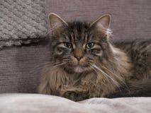 Stäng upp fotoet av Jesse katten som poserar på en stol Arkivbilder