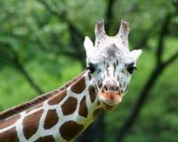 stäng upp giraffet Arkivbild