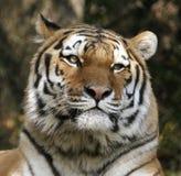 stäng upp tigern royaltyfri fotografi