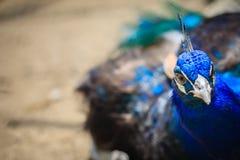 Stäng upp till den härliga framsidan av den unga påfågelmannen med blå pluma Arkivfoton