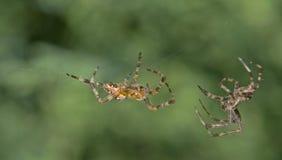 stängande spindlar royaltyfria foton