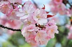 Stängd-upp körsbärsröd blomning Arkivfoton
