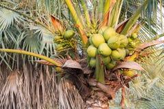 Stängd-upp kokospalm Fotografering för Bildbyråer