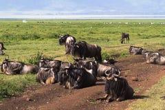 Stängd värld Ngorongoro tanzania Arkivfoto
