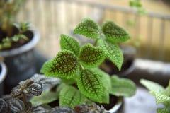 Stänger sig dekorativa växter för randigt blad upp Foto av härliga blommor i krukor fotografering för bildbyråer