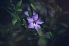 Stänger sig den mindre blomman för den härliga blåa vintergrönavincaen med ljusa purpurfärgade kronblad upp på mörkt - grön bakgr royaltyfria bilder