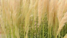 Stänger sig fluffiga växter för Crema färg upp. Fluffig fjäderlik växt stock video