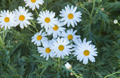 Stänger sig vita blommor för skönhet upp, blomman för den vita tusenskönan Royaltyfri Fotografi