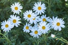 Stänger sig vita blommor för skönhet upp, blomman för den vita tusenskönan Royaltyfri Foto