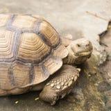 Stängt upp afrikan sporrad sköldpadda Royaltyfri Foto