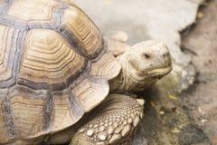 Stängt upp afrikan sporrad sköldpadda Arkivfoton
