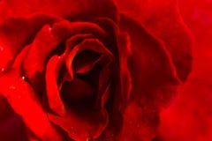 Stängt upp av röd rosbakgrund Arkivfoto