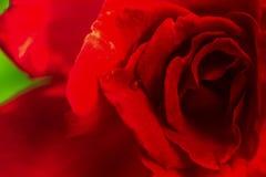 Stängt upp av röd rosbakgrund Royaltyfri Foto